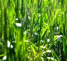 Fields of Green by GIStudio