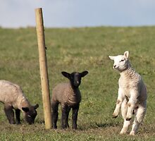 Enjoying life - Lambs by elainejhillson