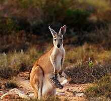Mamma Kangaroo by Paul Mayall