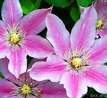 The Plural of Clematis by shimschoot