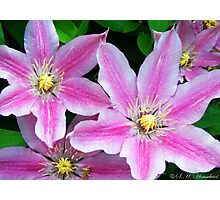 The Plural of Clematis Photographic Print
