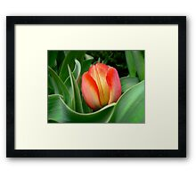 Young Red Tulip with Green Leaves ~ Close Up of Flower Bloom in a Spring Tulip Bed Framed Print