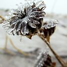 Ice Petals by sarahtakespics