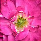 Rose Petals & Stamens ~ Close-up of a Pink Flower ~ Floral Photography by Chantal PhotoPix