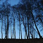 Birches from below by Ulla Vaereth
