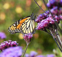 Monarch Butterfly by samela7