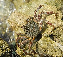 Wild crab  by luissantos84