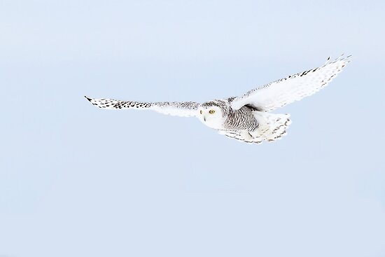 Glider - Snowy Owl by Jim Cumming