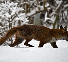 Fox on a Snowy Day by CalumCJL