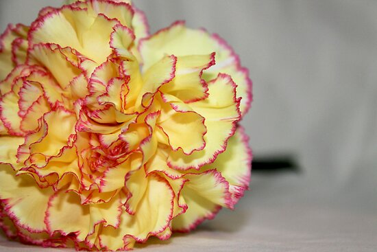 Yellow N Pink Carnation by Annie Underwood