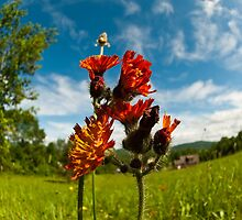Indian Paintbrush Fisheye by Troy Dodds