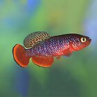 Nothobranchius kafuensis Chunga by Vern Treat