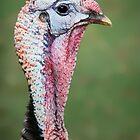 Exotic Turkey by Ticker