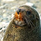 New Zealand Fur Seal by Images Abound | Neil Protheroe