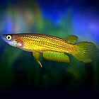 Aplocheilus lineatus by Vern Treat