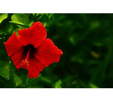 Hibiscus in the Park  Photographic Print