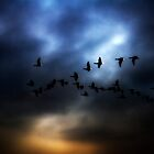 Canada Geese by timpr