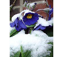 snow-laden flowering primulas  Photographic Print