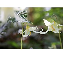 Oregon Fawn Lily Photographic Print