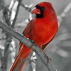 A dashing cardinal by Bine
