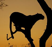 Morning Leopard silhouette by Jane Horton