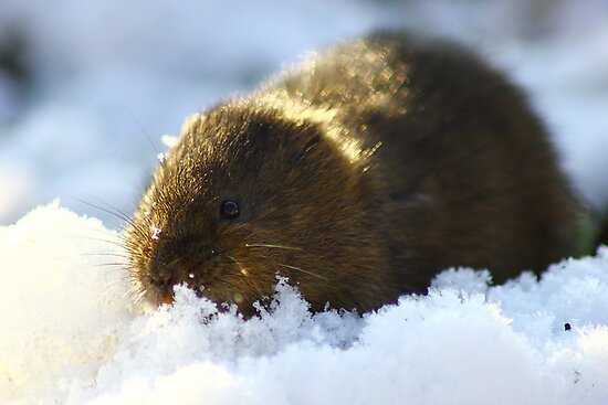 water vole in the snow by brett watson