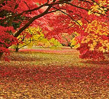Colours in an Acer Glade by Images Abound | Neil Protheroe