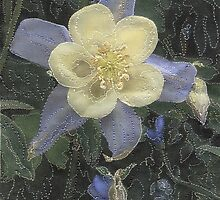 Columbine by Shirley Wood