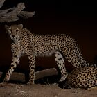 Cheetah in the evening by Jane Horton