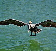 Pelican Wing Span by Paulette1021