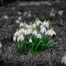 First Snowdrops of Spring by Chris Cherry
