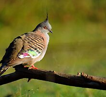 Crested Pigeon. Cedar Creek, Queensland, Australia. by Ralph de Zilva