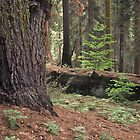 Redwood Forest, Yosemite National Park by Diana Sproul