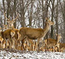 Red Deer in the Snow by Mark Van Scyoc