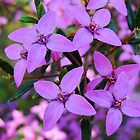 Boronia Ledifolia by Ross Campbell