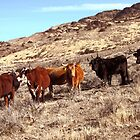 High Desert Range Cows  by SB  Sullivan
