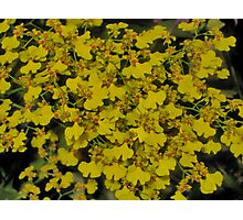 Yellow Orchid Spray Photographic Print