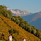 Golden autumn vineyards on steep slope in Valle Verzasca, Ticino, Switzerland by Michael Brewer
