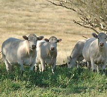 The charolais Heifers by geoffgrattan