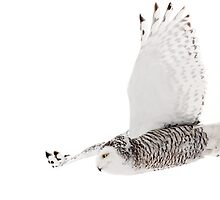 Dive! Dive! - Snowy Owl by Jim Cumming