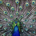 Peacock parade by Greg Parfitt