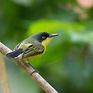 Male Common Tody Flycatcher - Tortuguero National Park, Costa Rica by Stephen Stephen