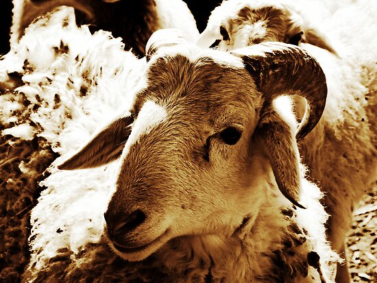 Sheep © by Ethna Gillespie