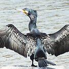Black Cormorant. by shortshooter-Al