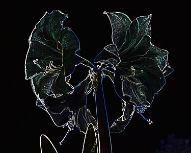 Amaryllis on Velvet by Barry Doherty