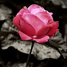 One Pink Rose by Vicki Field