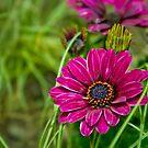 Pink Cape Daisy Flower by Vicki Field