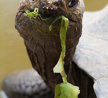 Galapagos Giant Tortoise, Isabela Island, Galapagos by parischris
