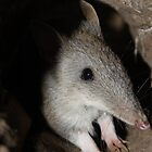 Long nosed bandicoot (Perameles nasuta) by Peregrinate