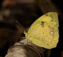 Yellow Orange Tip by OmkarSankpal